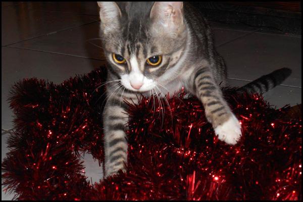 LILY superbe chaton tigrée à l'adoption 15578310