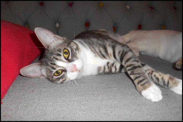 LILY superbe chaton tigrée à l'adoption 15584910