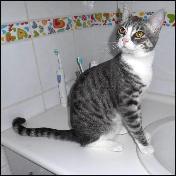 LILY superbe chaton tigrée à l'adoption 15585210