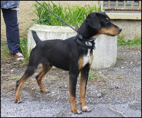 NEBULON croisé Jagd Terrier _mg_5319