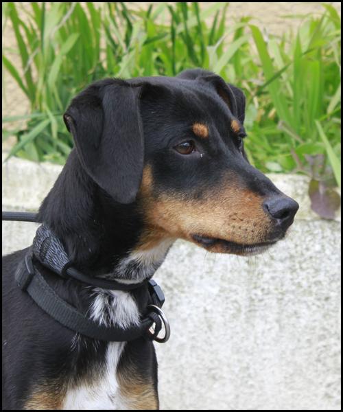 NEBULON croisé Jagd Terrier _mg_5320