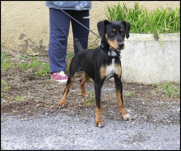 NEBULON croisé Jagd Terrier _mg_5322