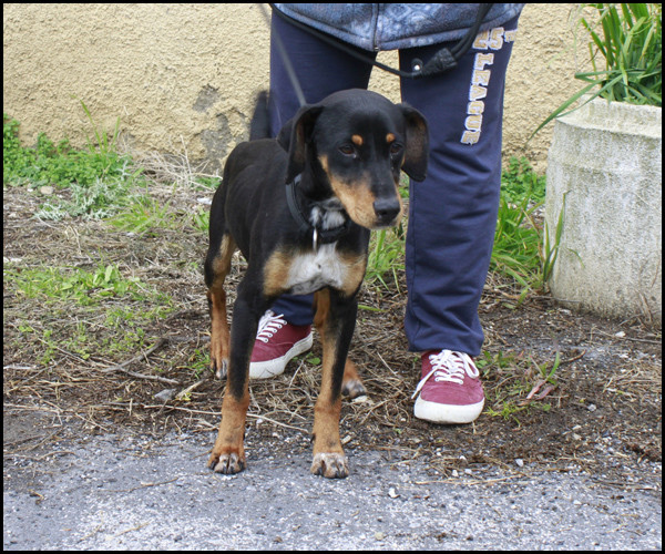 NEBULON croisé Jagd Terrier _mg_5323