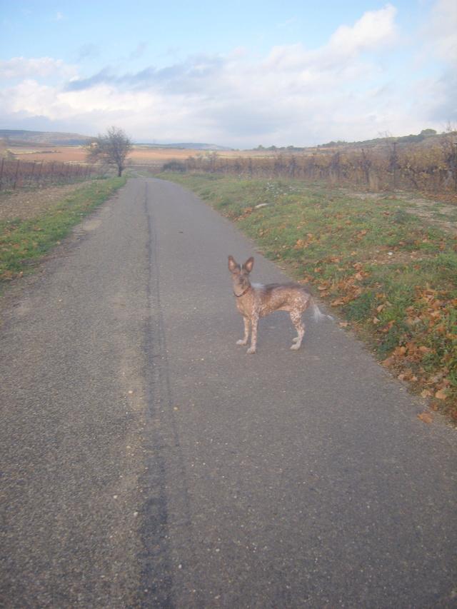 MASHA  croisée chien nu du Mexique S1031811