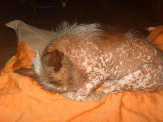 MASHA  croisée chien nu du Mexique S1031812