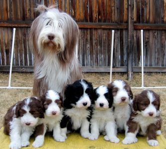 Bearded Collie (Colley/Collie barbu) Bbbear10