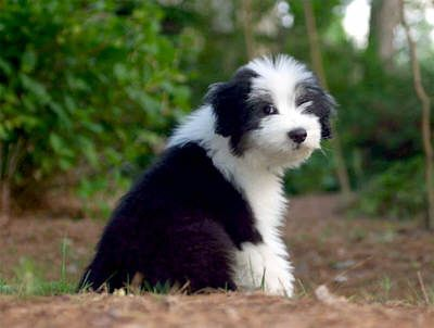 Bearded Collie (Colley/Collie barbu) Bbbear11
