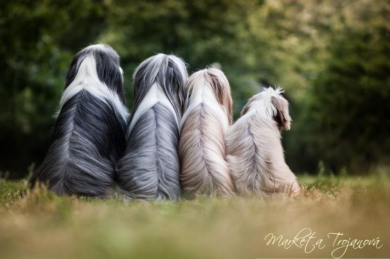 Bearded Collie (Colley/Collie barbu) Bearde10