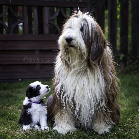Bearded Collie (Colley/Collie barbu) Bearde11