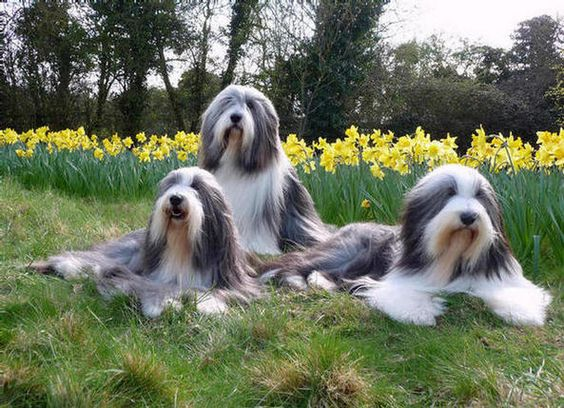 Bearded Collie (Colley/Collie barbu) Bearde15