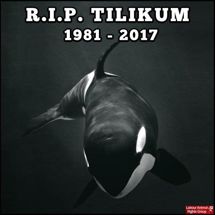 Blackfish: Tilikum, l'orque tueuse - Page 5 Tilik10
