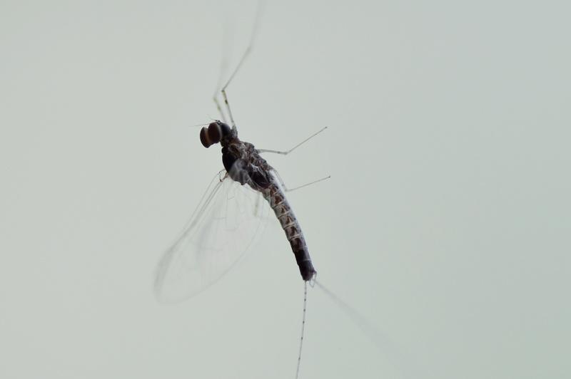 petit insecte à identifier Dsc_7811