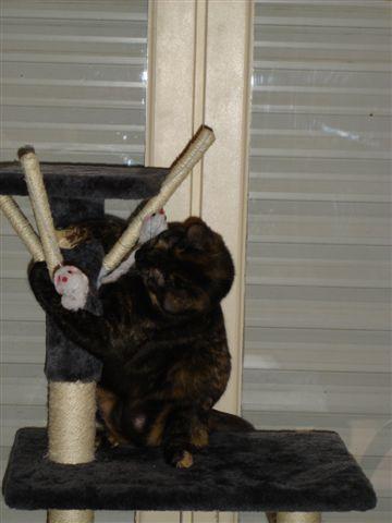LULU, chatonne écaille de tortue, née vers le 15/09/15 Dsc01416