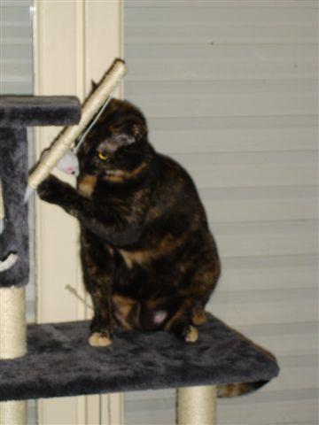 LULU, chatonne écaille de tortue, née vers le 15/09/15 Dsc01421