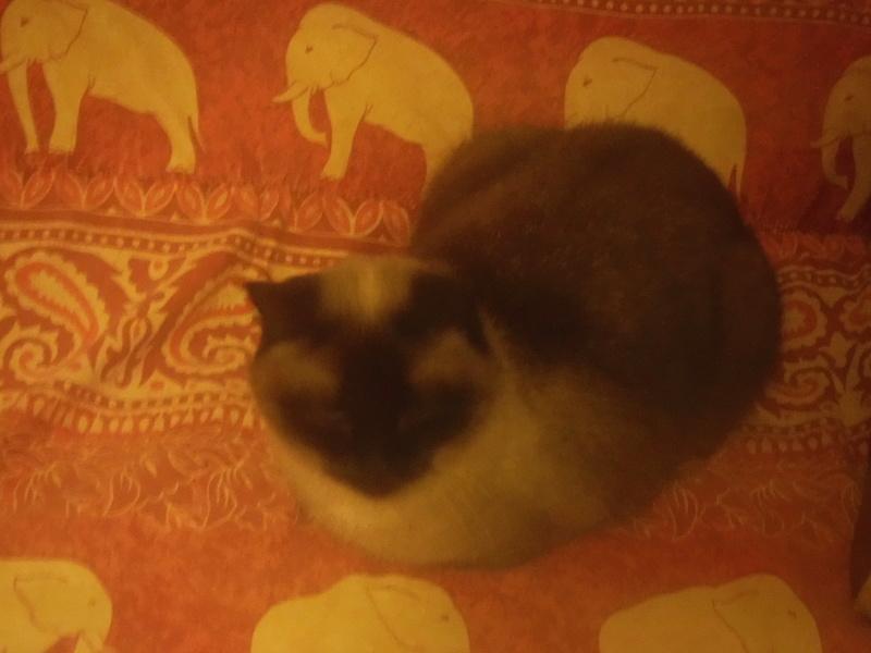 Invicta, une douce siamoise aux yeux bleus, née le 01/10/2013 Invict12