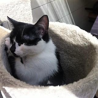 LYNETTE, chatonne européenne, noire & blanche, née le 20/10/15 Photo_14