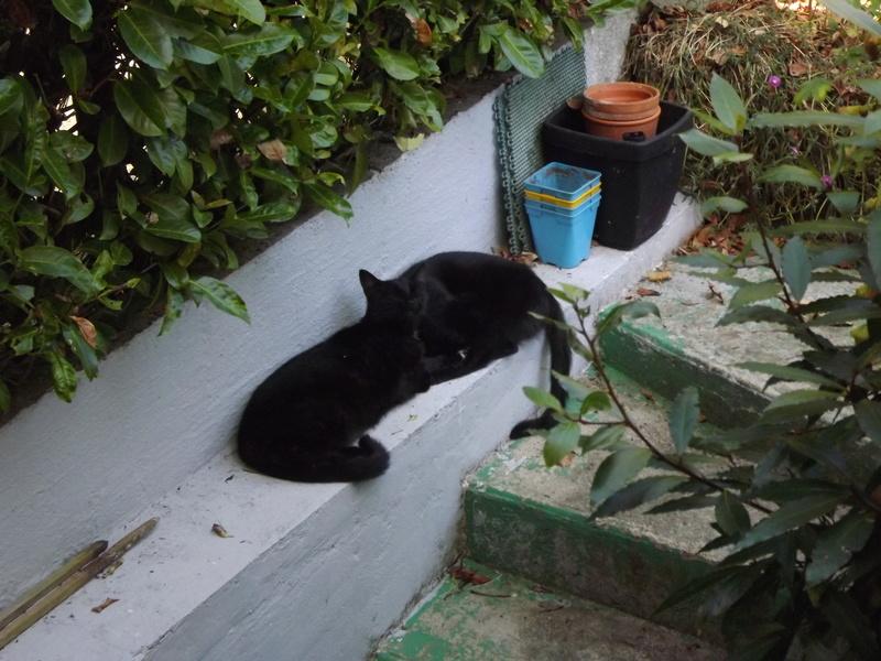 Lucifer, chaton  de type européen  noir, né le 01/07/2015 Zoufri11