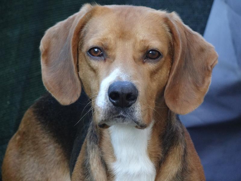 IGLO - beagle mâle 4 ans (Asso GALIA 86) Dsc04414