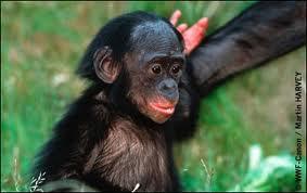 Quel est votre animal préféré? Bonobo10