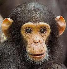 Quel est votre animal préféré? Chimpa10