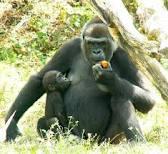 Quel est votre animal préféré? Gorill10