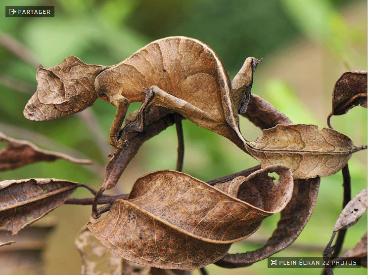 Le petit monde des  jardins de notre manoir... - Page 10 Gecko_10