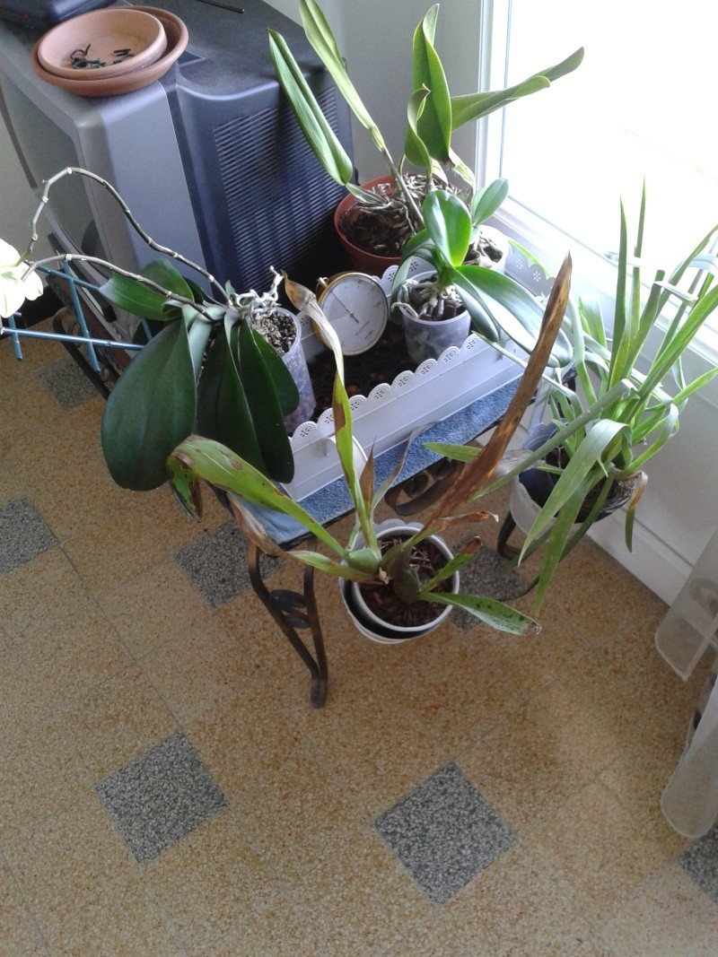 Nouvel habitat pour mes orchidées. 20130813