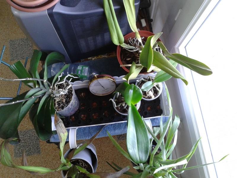 Nouvel habitat pour mes orchidées. 20130815