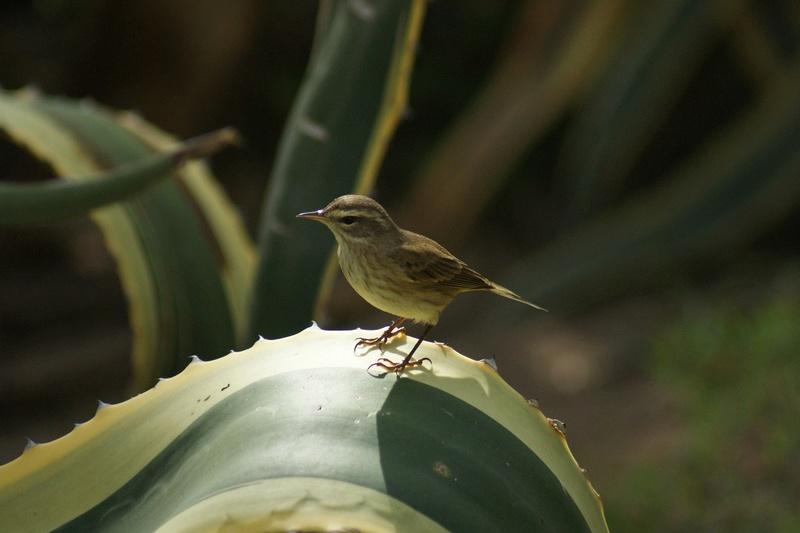 Oiseaux de Cuba - 1 Cuba_214