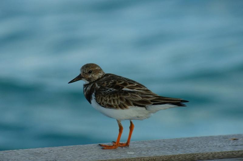 Oiseaux de Cuba - 1 Cuba_215
