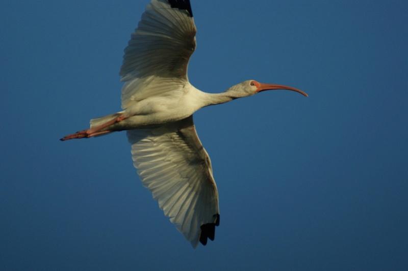 Oiseaux de Cuba -2 Cuba_217