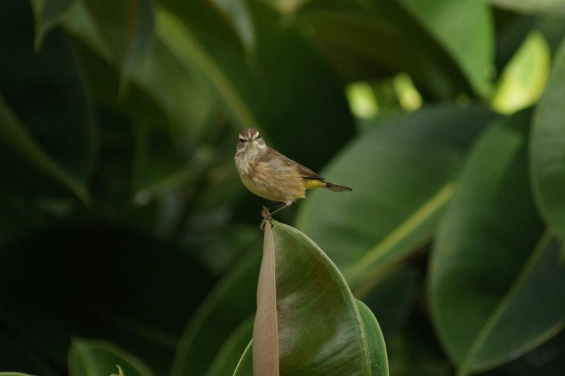 Oiseaux de Cuba -2 Cuba_218