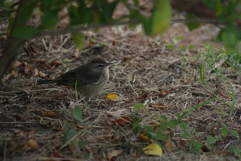Oiseaux de Cuba -2 Cuba_221