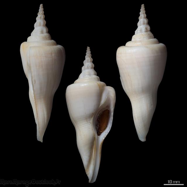 Fusinus serotinus - (Hinds, 1843) Cyrtul10