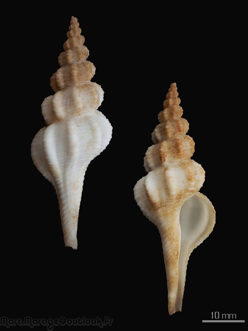 Vermeijius virginiae - (Hadorn & Fraussen, 2002) Fusinu10