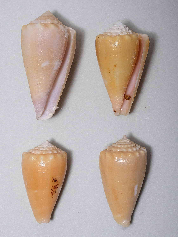 Conus (Phasmoconus) exiguus optimus Sowerby III, 1913 voir Conus (Ph) exiguus Optimu10