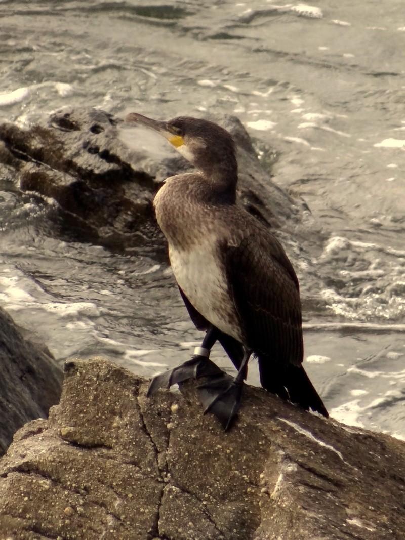Grand cormoran bagué 02512