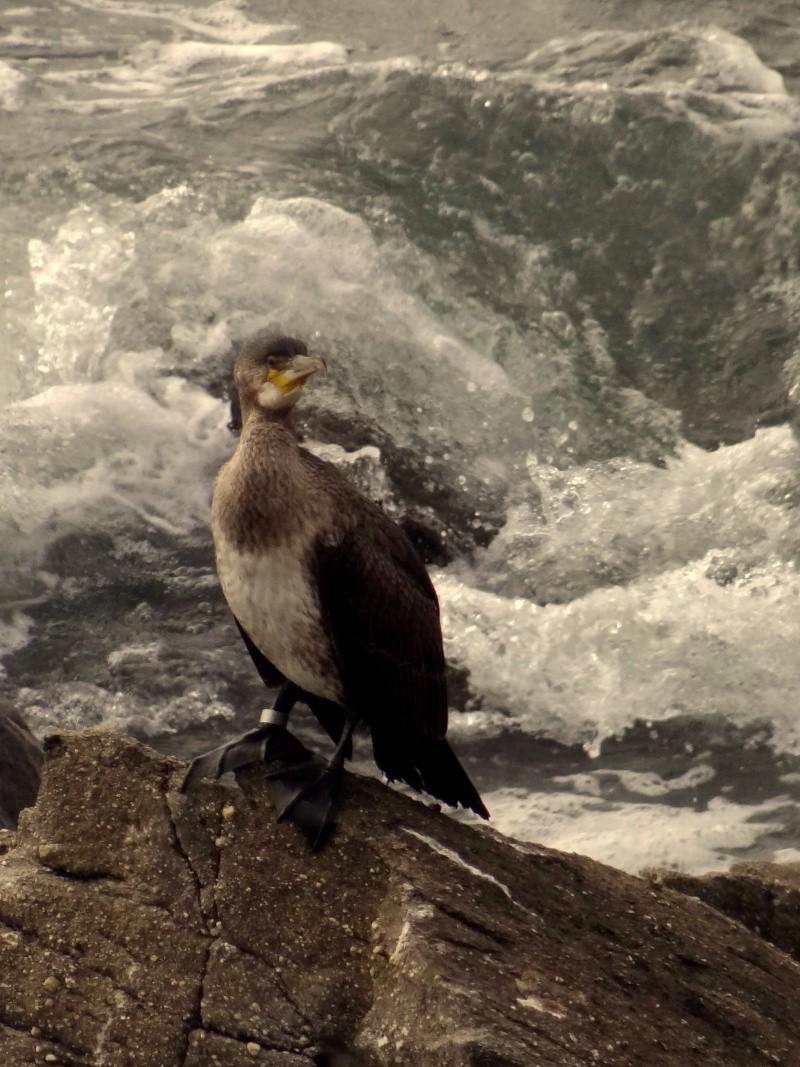 Grand cormoran bagué 02612