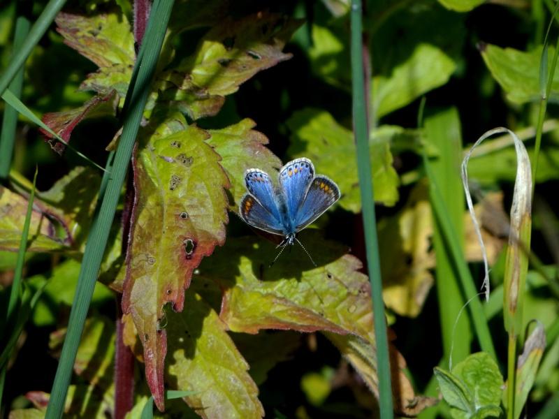 azuré commun femelle forme bleue  13010