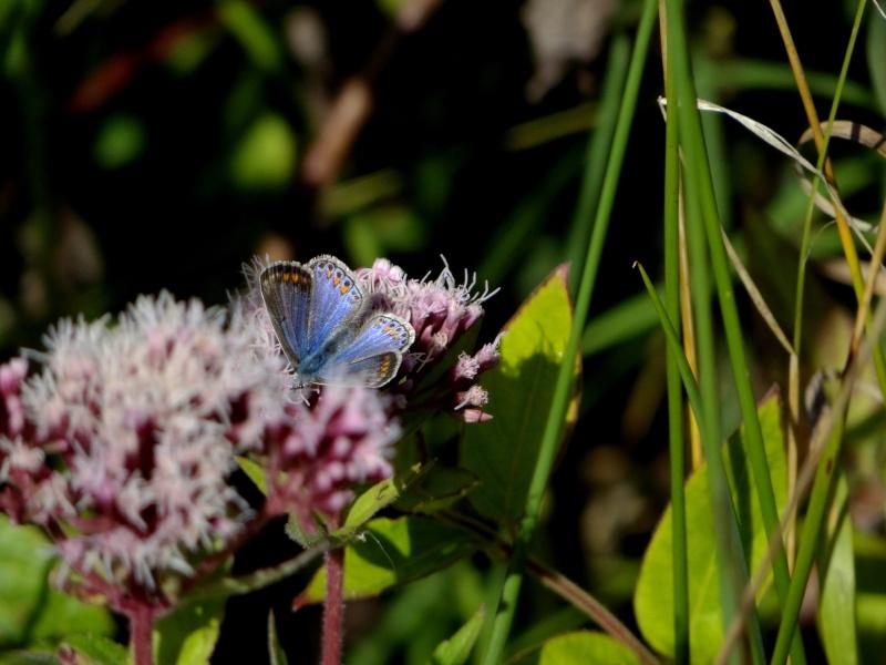 azuré commun femelle forme bleue  18811