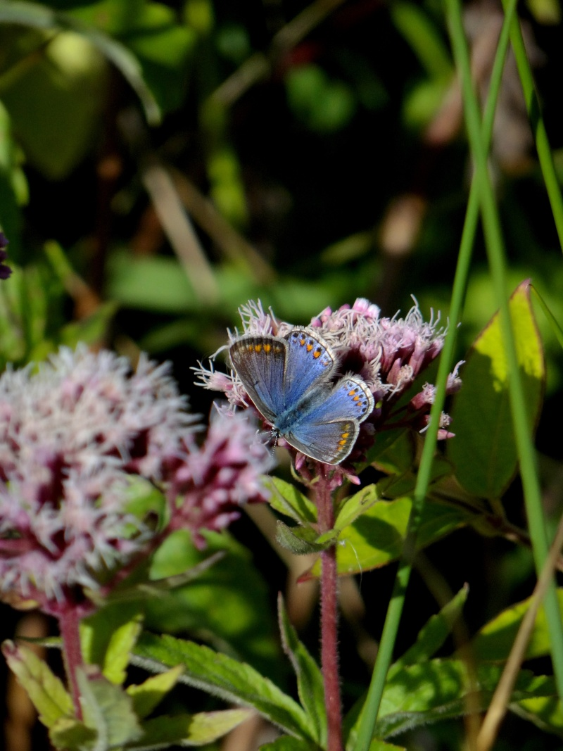 azuré commun femelle forme bleue  19011