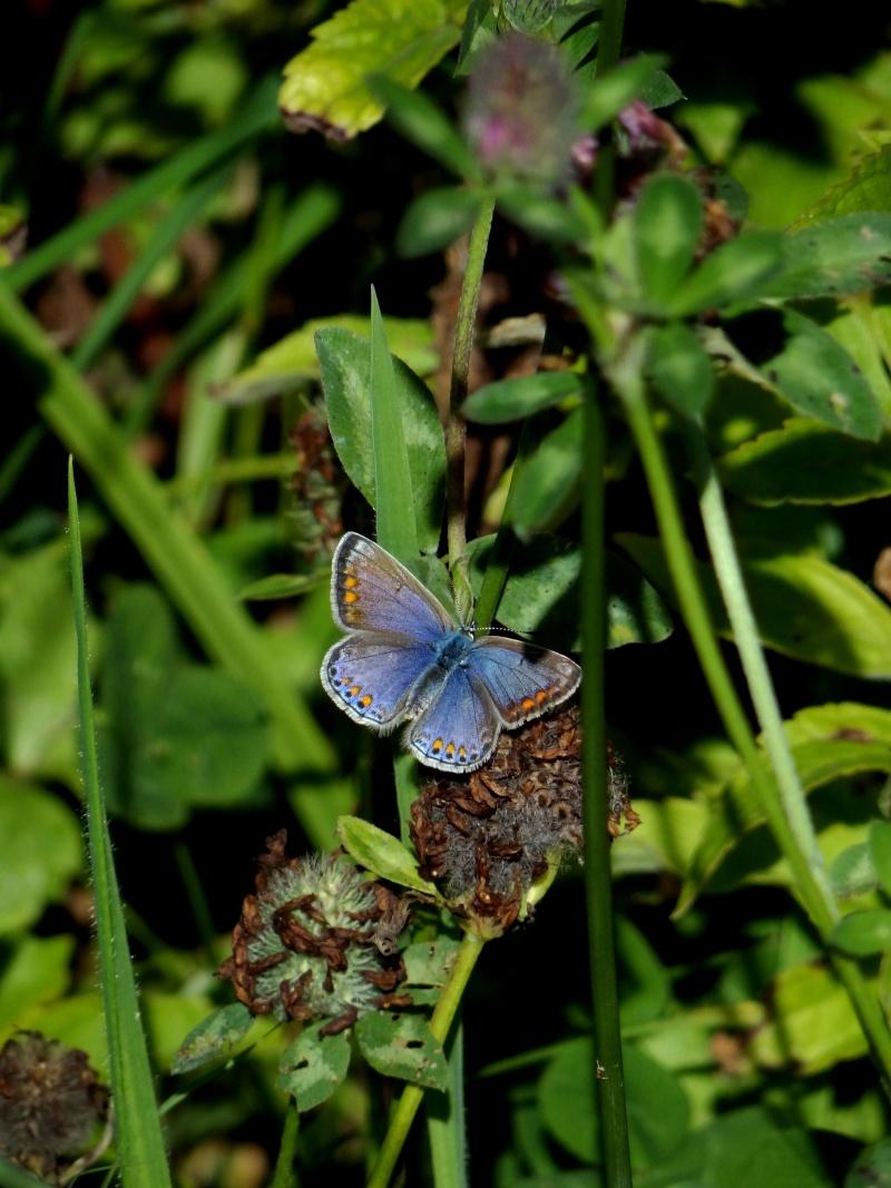 azuré commun femelle forme bleue  19410