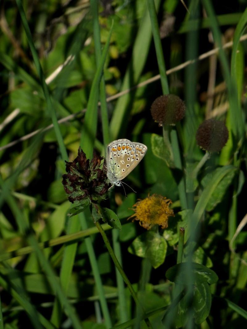 azuré commun femelle forme bleue  19710