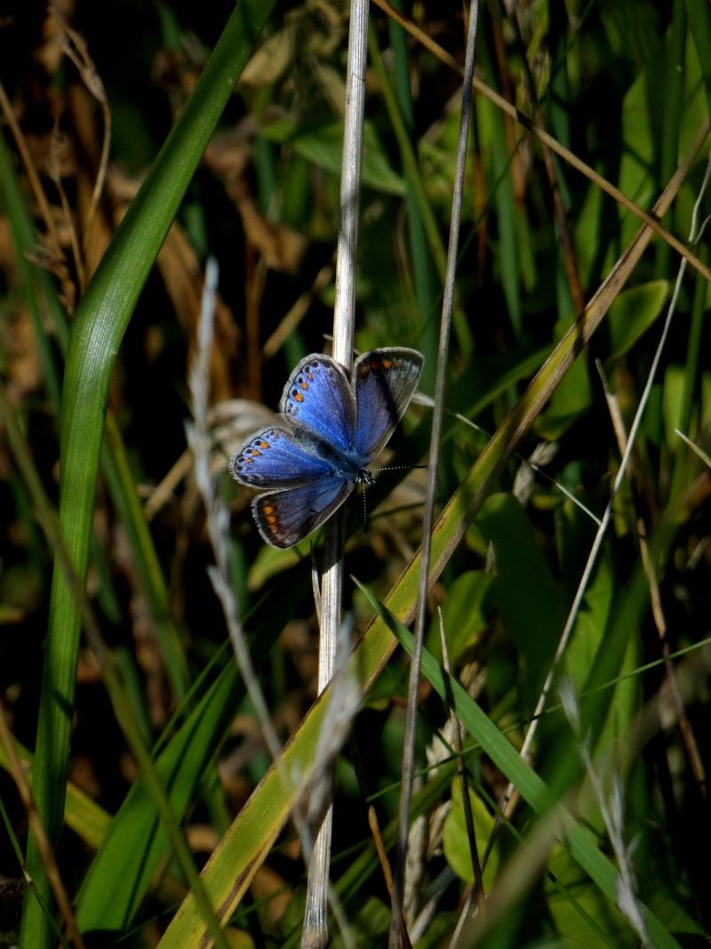 azuré commun femelle forme bleue  20810