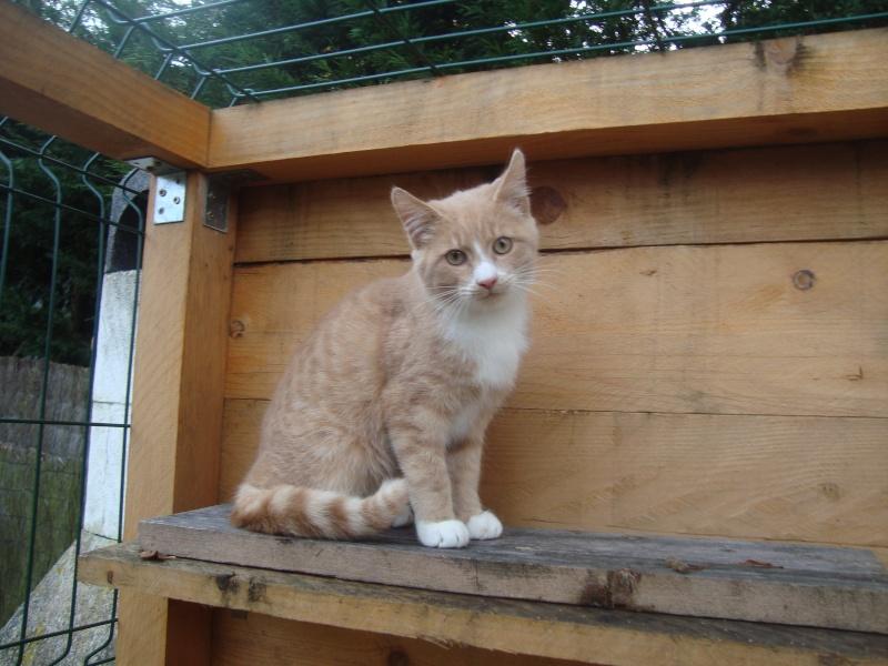 Caramel, chaton roux aux pattes blanches (28) Dsc04915
