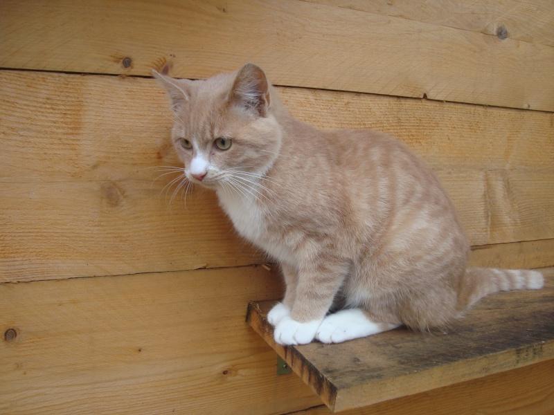 Caramel, chaton roux aux pattes blanches (28) Dsc04916