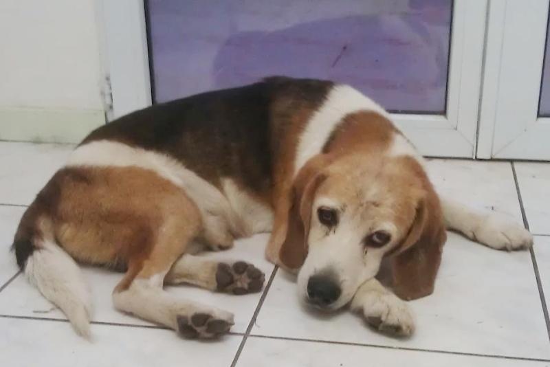 [Trouvé] Près de Plaissan (34) - Beagle mâle âgé avec pb à l'arrière train Beagle10