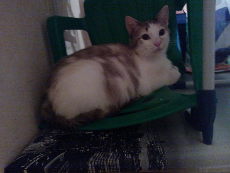 Epona, femelle tricolore blanche, née le 29 juin 2009 Wp_00012