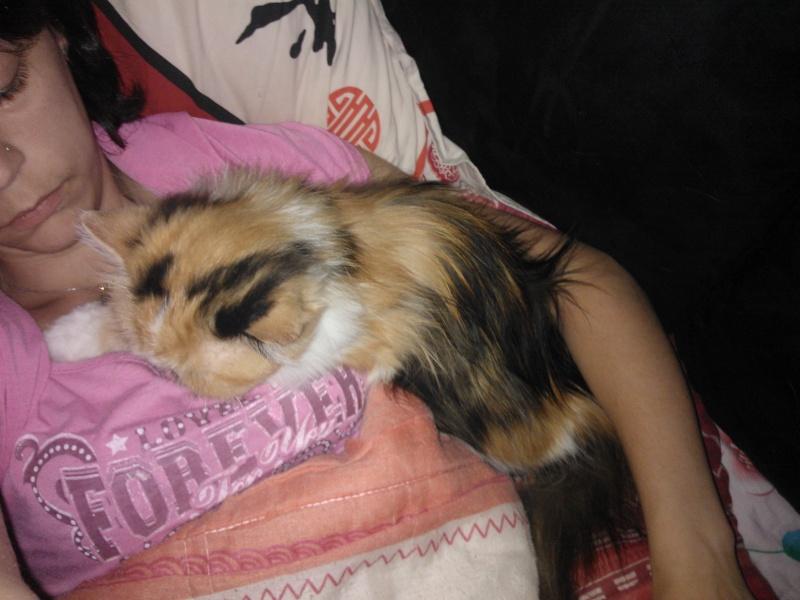 Baraka, femelle persane calicot née en 2005 Wp_00013