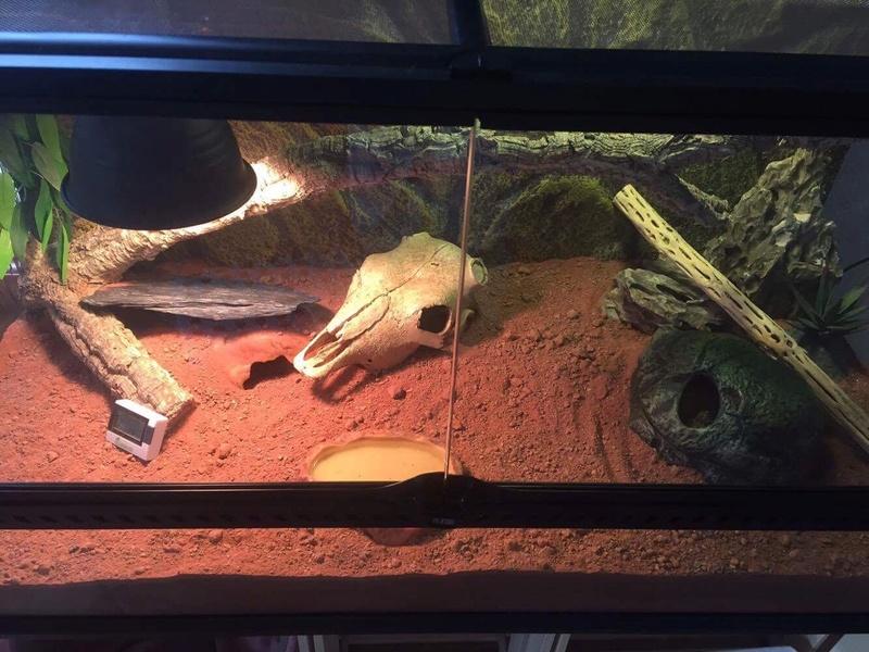 """Ma """"geckotte"""" léopard  Image153"""